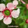 Τεϊόδεντρο αιθέριο έλαιο