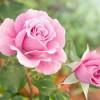 Τριαντάφυλλο αιθέριο έλαιο